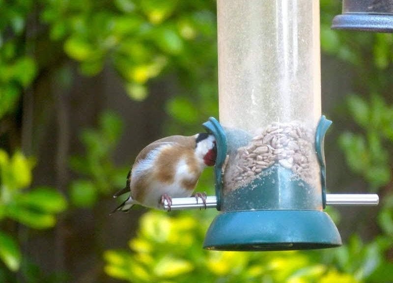 A goldfinch eating from a bird feeder